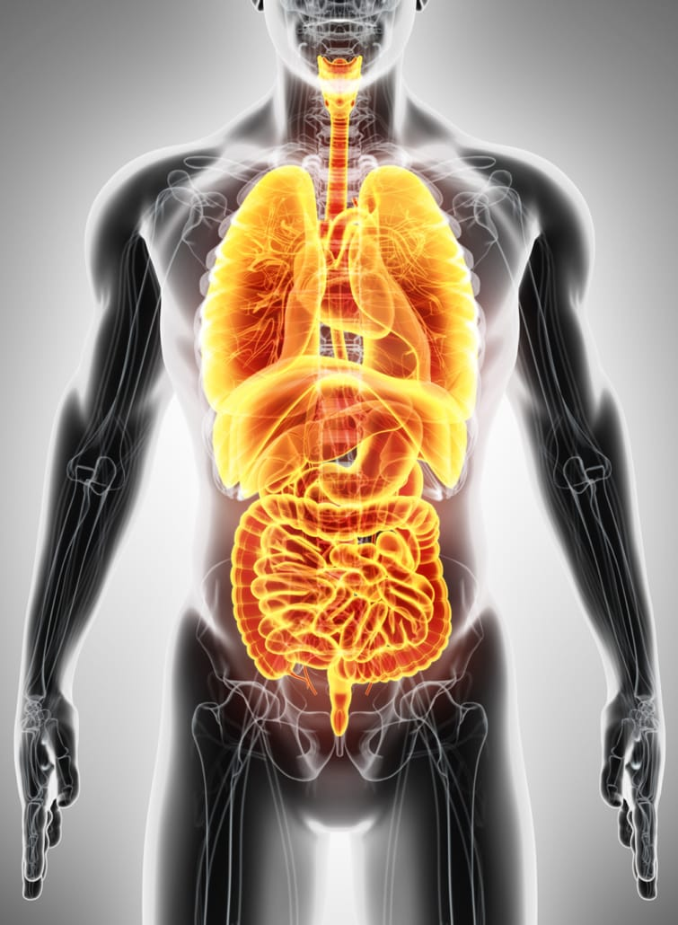 Innere Organe Mensch