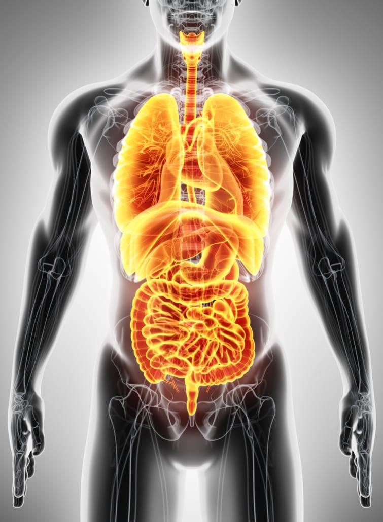 Infografik der inneren Organe
